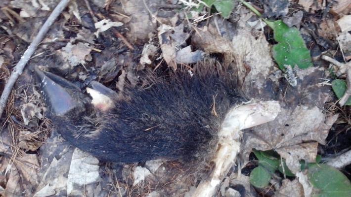 В Чебоксарском парке обнаружили волосатое копыто кабана