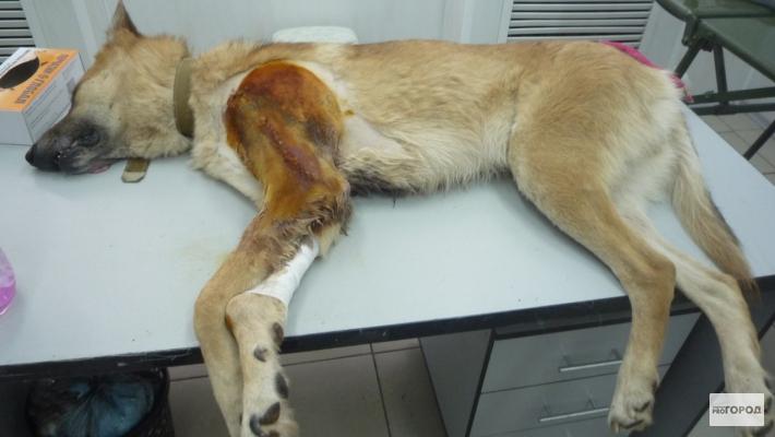 Пострадавший от рук сантехника пес Рыжик прооперирован