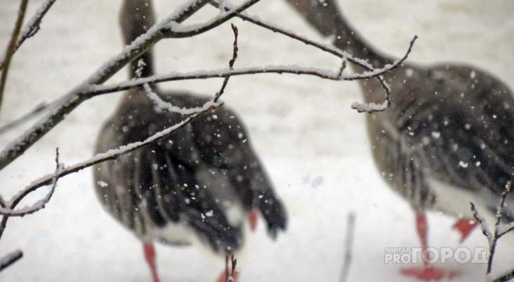За кражу двух гусей житель Чувашии попал в колонию