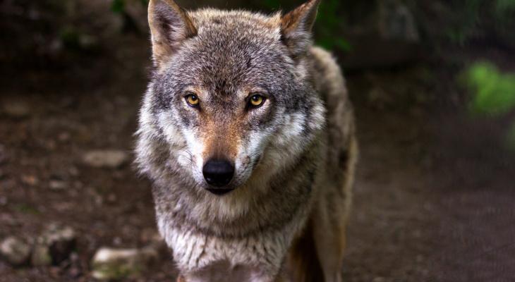 Волчьих стай в Чувашии стало критически много