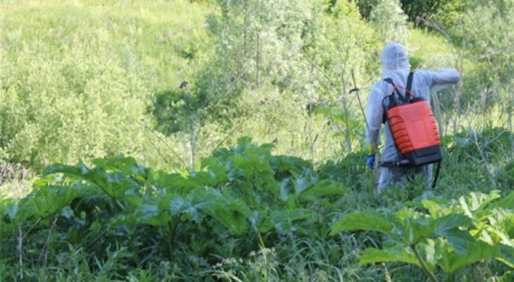 Против борщевика в Красночетайском районе применили химическую атаку