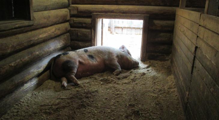 Чувашия ограничивает ввоз свинины из-за вспышки чумы в соседнем регионе