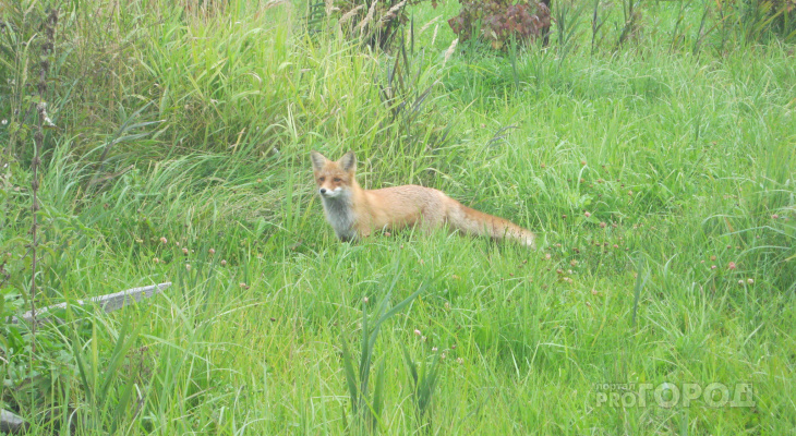 В Чувашии посчитали лисиц и барсуков