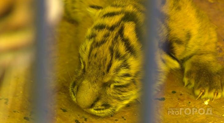 В Чебоксарах новорожденному бенгальскому тигру выбрали имя