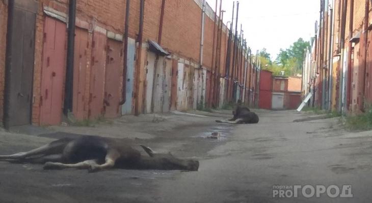 В Северо-Западном районе к гаражам забрели лоси, один погиб