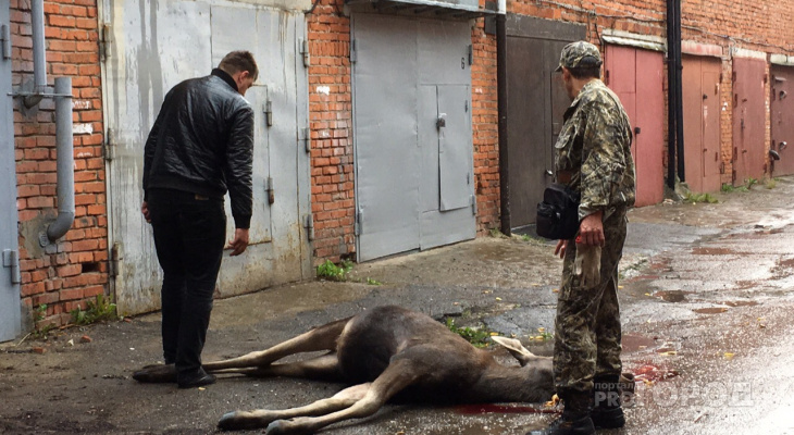 Специалист рассказал, как в Чебоксары могли забрести лоси и почему один погиб