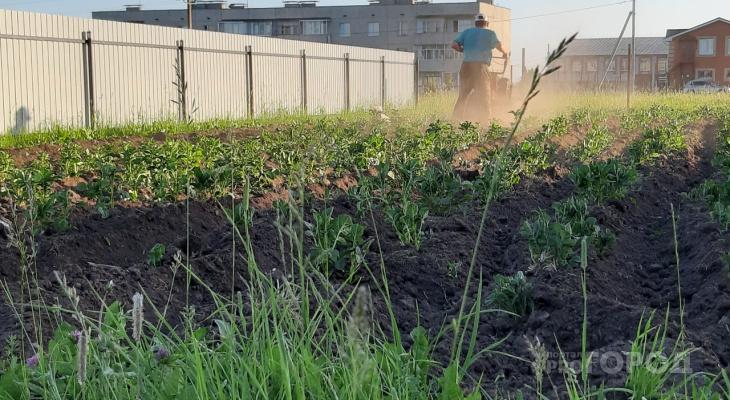 В 19 районах Чувашии нашли картофельного вредителя