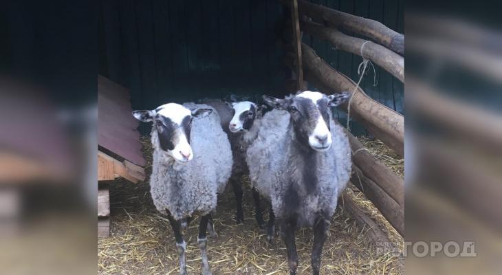 В Чувашии мужчине грозит 1 год за кражу овцы