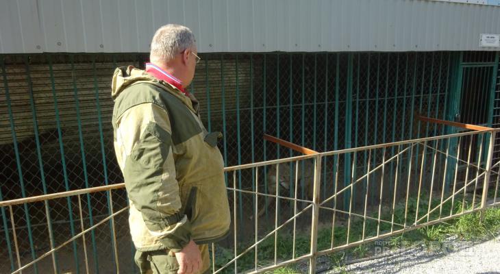 """Чтобы накормить волков в """"Ельниковской роще"""", рабочие заходят в клетку с лопатой"""