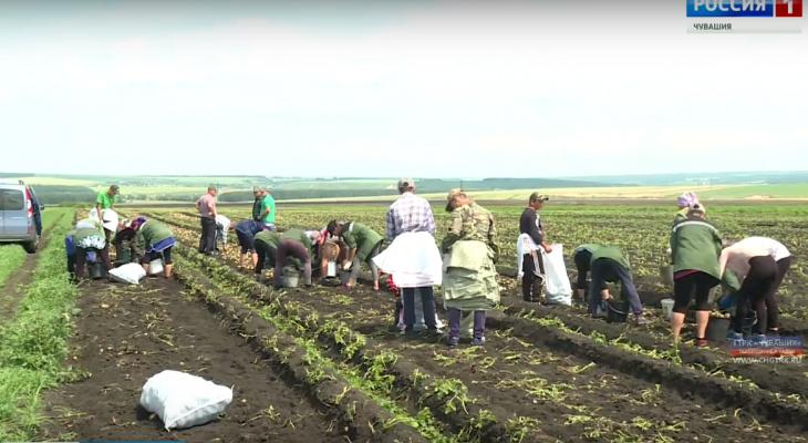 Цена картофеля в Чувашии упала до трех рублей