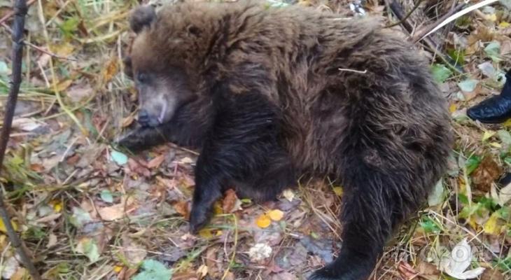 Бродящего на Хевешской медведя усыпили и поймали