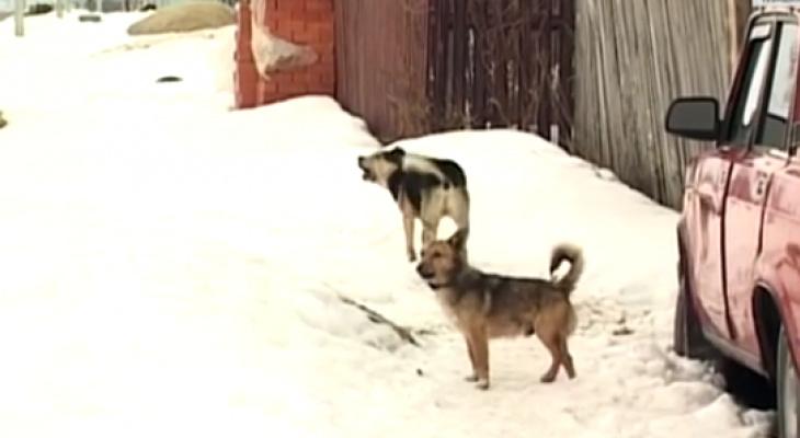 Прокурор Чувашии обратил внимание на опасность бездомных собак: «Они у нас людей едят»