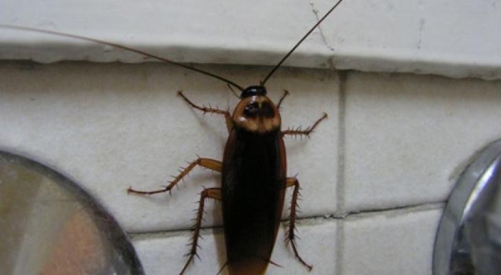 """Специалист дезслужбы: """"Жители Чебоксар обеспокоены нашествием тараканов"""""""