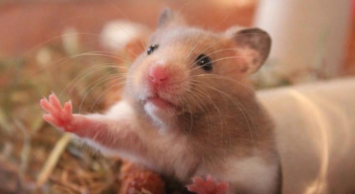 В Чувашии вспышка мышиной болезни превысила уровень в 3 раза