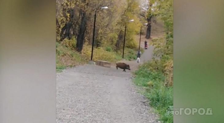 В Чебоксарском районе на кабанов расставят ловушки
