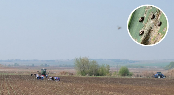 В полях Чувашии обнаружились черные жуки-вредители