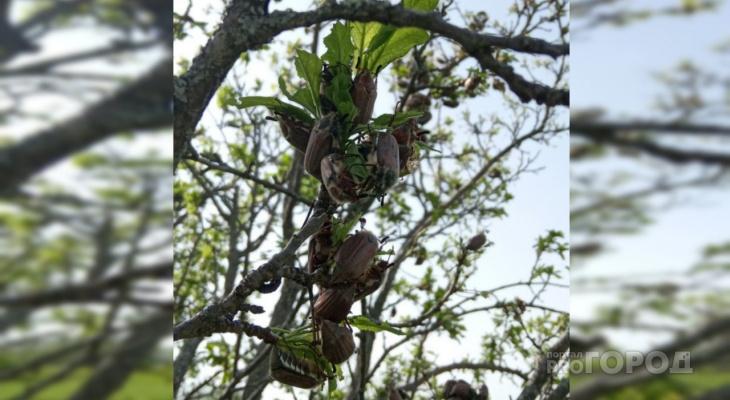 """Жители Чувашии бьют тревогу из-за нашествия майских жуков: """"В этом году останемся без ягод"""""""