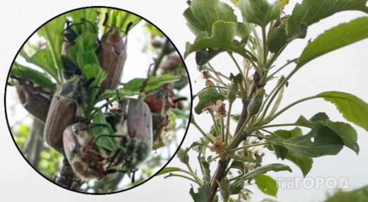 """В Мариинском Посаде майские жуки обгладывают деревья подчистую: """"Яблок в этом году тоже не будет"""""""