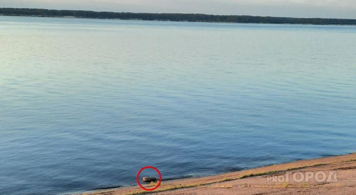В Чебоксарах недалеко от пляжа плавает мертвый кабан