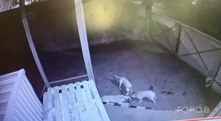 В Новочебоксарске три собаки проникли на территорию магазина и разорвали на части кошку