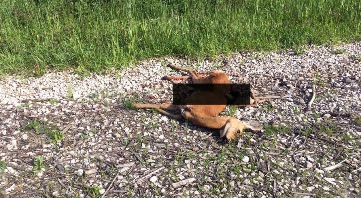 Водитель сбил трех косуль и скрылся с места ДТП, но оставил после себя улику