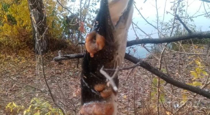 В Чувашии мужчина поймал в Волге рыбу, больную щучьей чумой